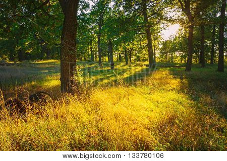 Sunset In Forest Trees. Natural sunlight sunshine in woods. Very sunny sunrise with sun rays through woods trees in summer forest. Beautiful scenic view