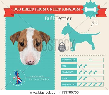 Bull Terrier Dog breed vector infographics. This dog breed from United Kingdom