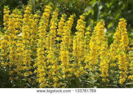 Whorled Loosestrife - Lysimachia verticillaris Escaped garden plant