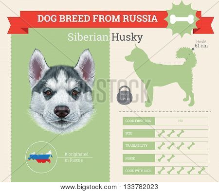 Siberian Husky Dog breed vector infographics. This dog breed from Russia