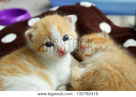 A ginger and ginger and white kitten sleeping on a spotty blanket