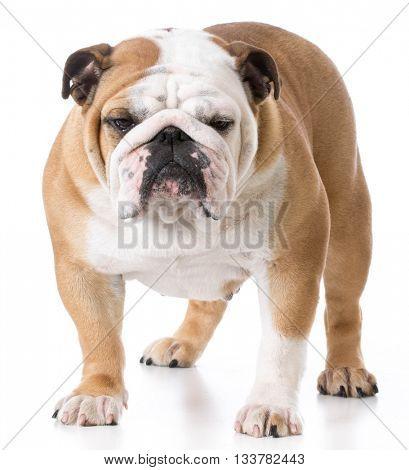 female english bulldog standing on white background
