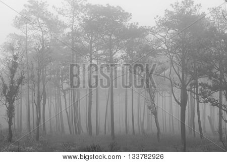 Scene of pine forest with thick mist in Balck&White.