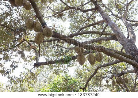 Raw Durain With Brown Spikes On Tree