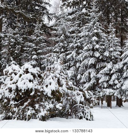 Winter landscape with snow covered spruce trees.