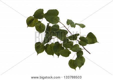 Young fluffy branch of linden on white background