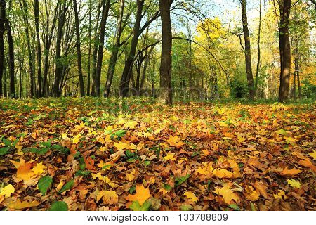 Autumn forest in bright the colored leaves.