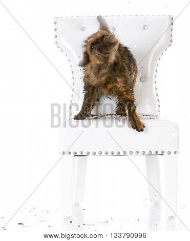 naughty dog skaking mud on white leather chair isolated on white background