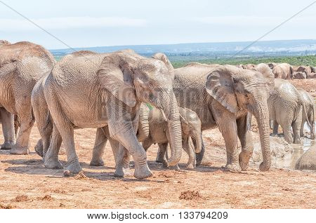 Mud covered african elephants Loxodonta africana walking