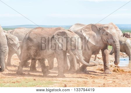 Mud covered african elephants Loxodonta africana walking in dust