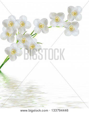 White jasmine flower. branch of jasmine flowers isolated on white background.