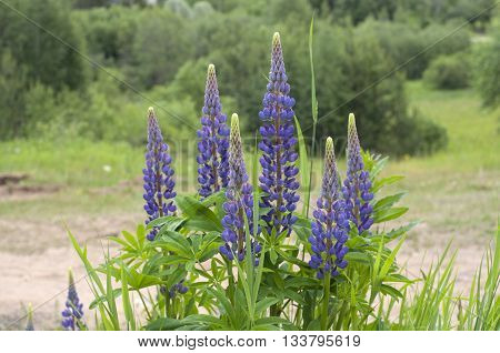 Fresh lupine blooming in spring or summer. High lush purple lupine flowers summer or spring. Blossoming lupines in foreground. Horizontal image.
