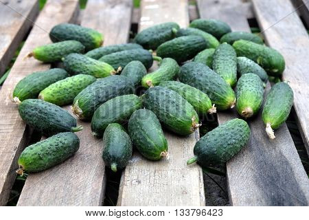 Still life with many small crisp green cucumbers on old wooden table. Photo outdoor front view