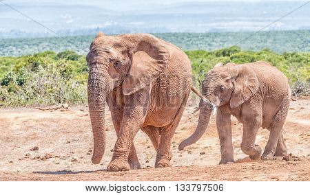 An African Elephant mother and large calf Loxodonta africana walking