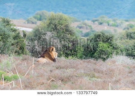 A male African Lion Panthera leo enjoying the early morning sun