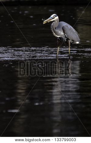 Blue Heron with a fish in its mouth standing in water - vertical format