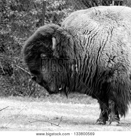 Montgomery, Alabama, February 20, 2016: Black and white image of a buffalo from the shoulders forward at the Montgomery Zoo