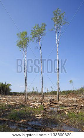 Four trees that survived a logging clear cut in Saskatchewan Canada