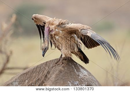 White-backed vulture (Gyps africanus) scavenging on a dead elephant, Kruger National Park, South Africa