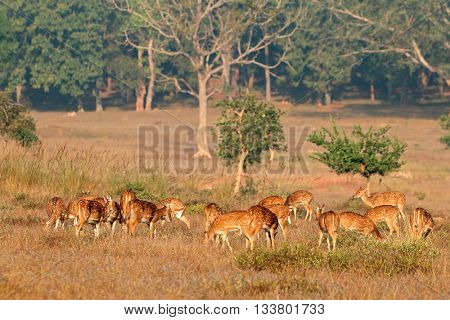 Group of spotted deer or chital (Axis axis) in natural habitat, Kanha National Park, India