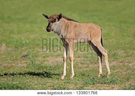 A young blue wildebeest calf (Connochaetes taurinus), Kalahari, South Africa