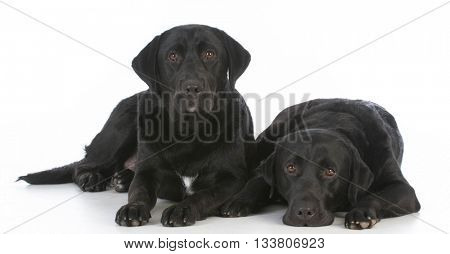 two black labrador retrievers laying down on white background