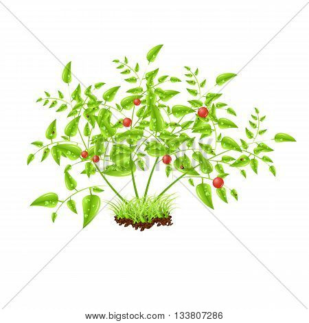 Red ripe tomato vector illustration, isolated on white background