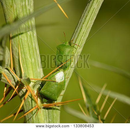 Couple of small green bugs in mating ritual among branches of wild artichoke, Nezara viridula