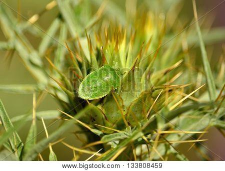 Small green bug on flower head of wild artichoke, Nezara viridula