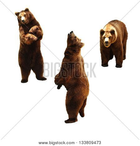 Set of brown bears. Isolated on white background.