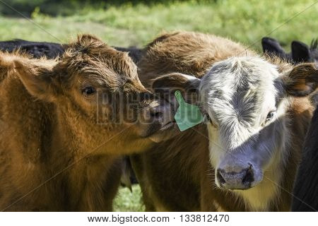 Red calf seeming to whisper in another calf's ear