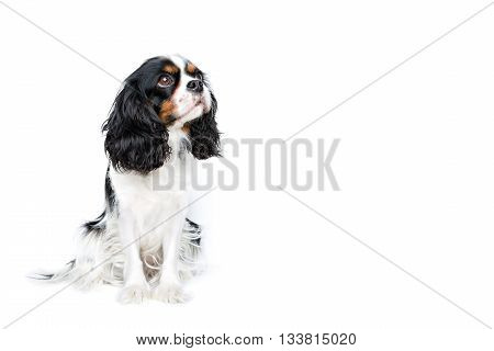 portrait of cute cavalier spaniel looking asidel isolated on white background copy space
