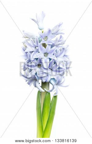 young blooming hyacinth isolated on white background