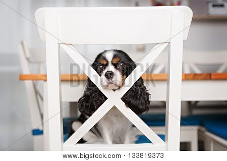portrait of cute dog sitting on the kitchen chair