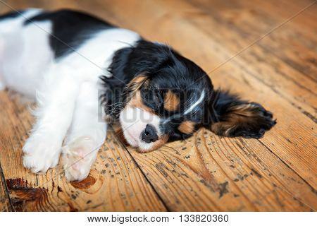 cute dog -  puppy of cavalier spaniel sleeping