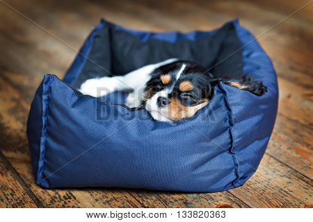 cute dog - puppy of cavalier spaniel sleeping