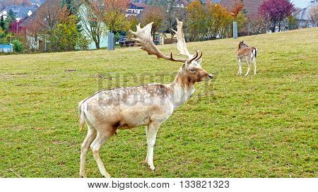 Fallow deer in an animal enclosure in Ore Mountains in Germany, fallow deer buck and a female animal in summer coat