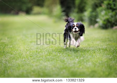 cute dog cavalier spaniel running on the grass