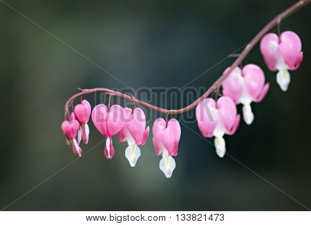 fragile pink flower over the gray background
