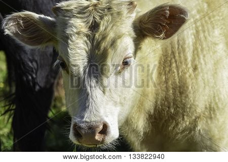 Head and neck of a white stocker calf