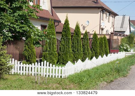 Thuja is planted in a row and fenced