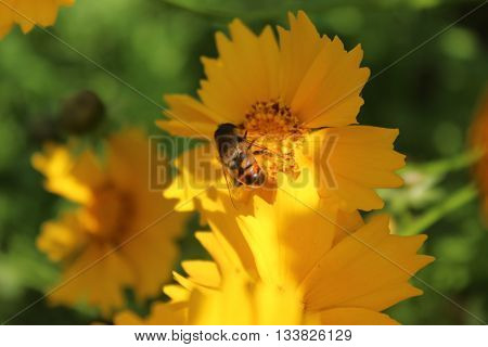 bee collects nectar on a bright Sunny day