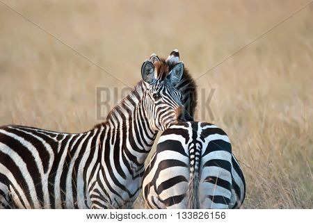 photo zebra resting her head on friend's back on the African savannah, Kenya Africa