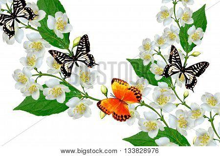 White jasmine flower. The branch delicate spring flowers. branch of jasmine flowers isolated on white background.