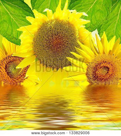 Beautiful sunflower, yellow flowers. Closeup of a beautiful sunflower in gardena