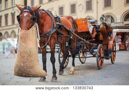 Horse with wagon looking at camera eating oats from jute bag