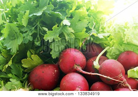 Freshly harvested round radishes and parsley leaves