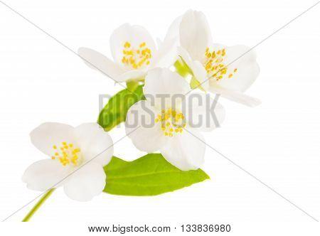macro, object, flora Jasmine on white background