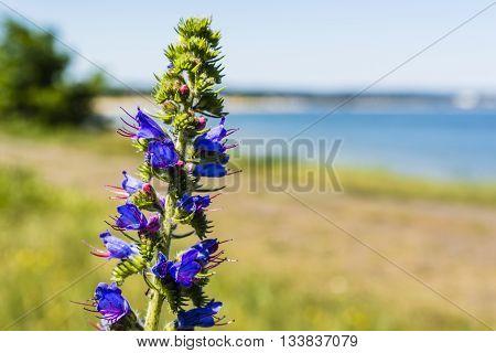 Flower Echium Vulgare L..