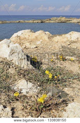 Rare Endemic Dandelion - Taraxacum aphrogenes Cape Drepanon Cyprus